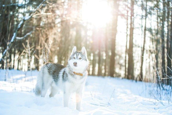 Husky dog lies on the snow
