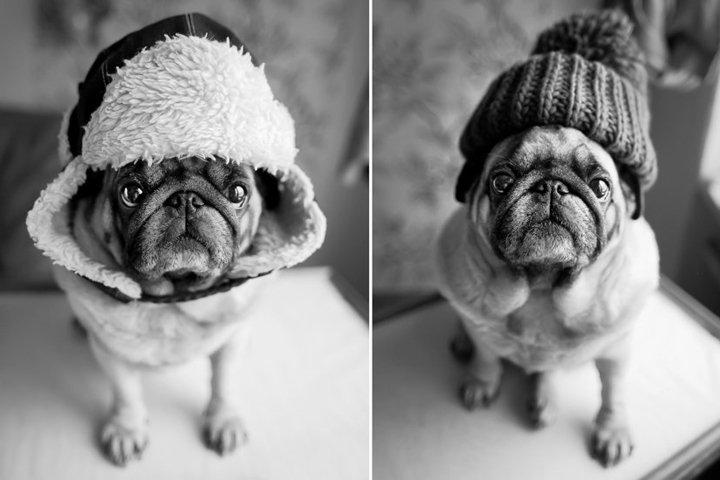 Stylish black and white portrait of a pug