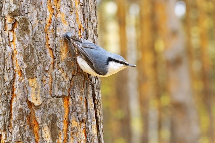 Little bird nuthatch sits on hand at autumn time