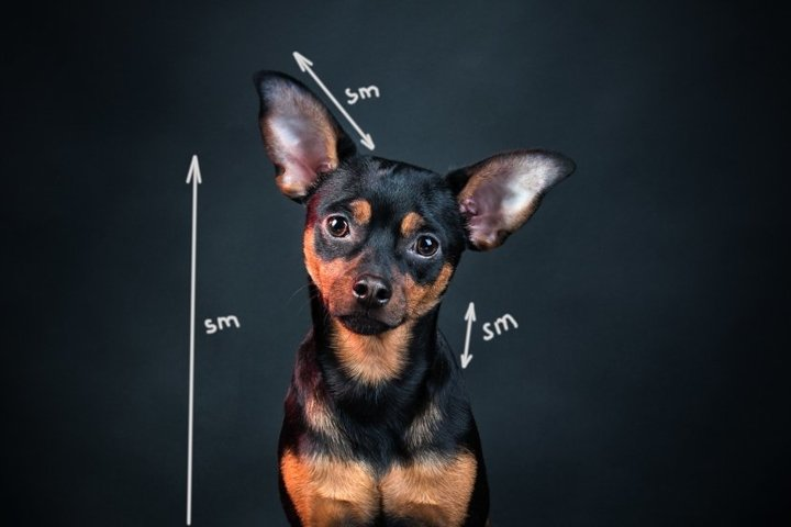 Portrait of a dog studio , toy terrier