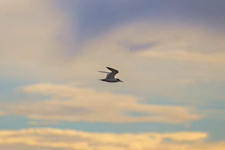 Seagull in the morning sky