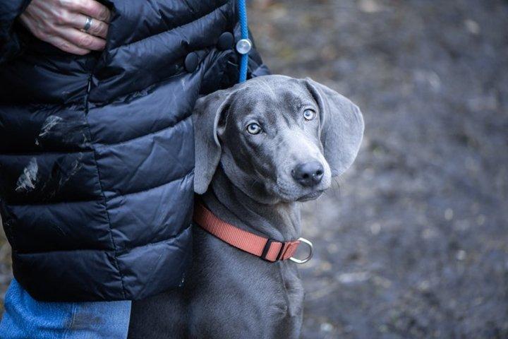 Portrait of a beautiful blue Weimaraner breed dog