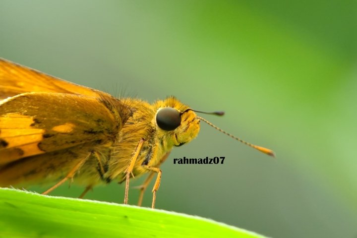Close up of Skipper Against Green Background