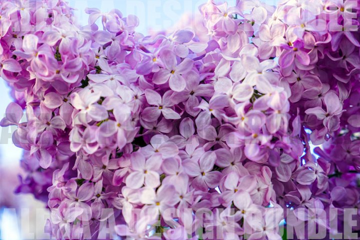 Lilac flowers natural background