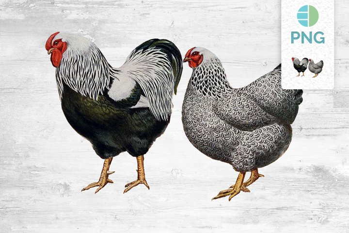 Chicken Clipart Wyandottes