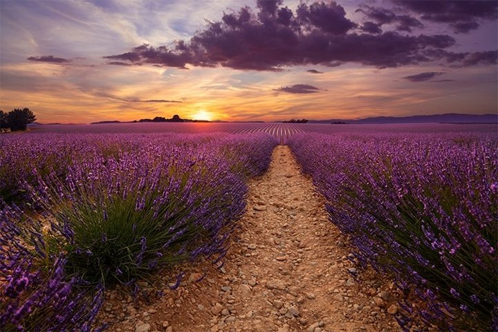 Lavender Field In Sunset Light