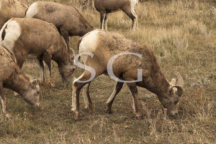 Bighorn sheep herd grazing
