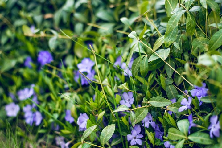Beautiful purple flowers of vinca on background of green lea