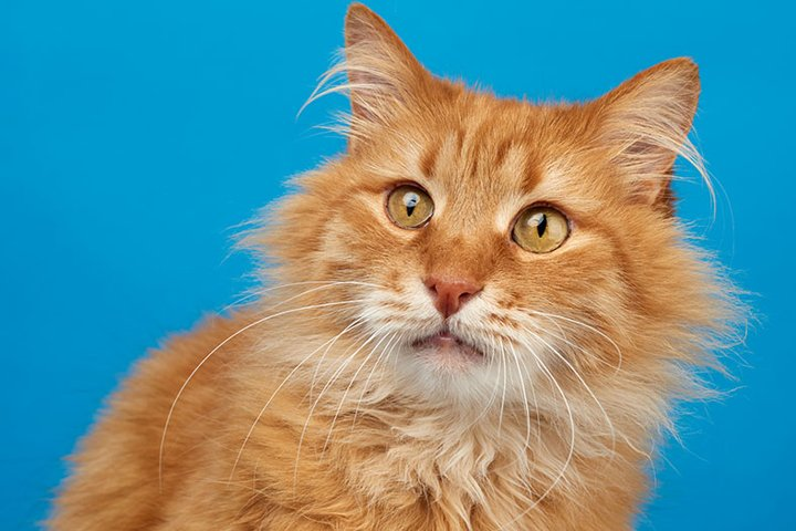 portrait of adult ginger fluffy cat on a blue background