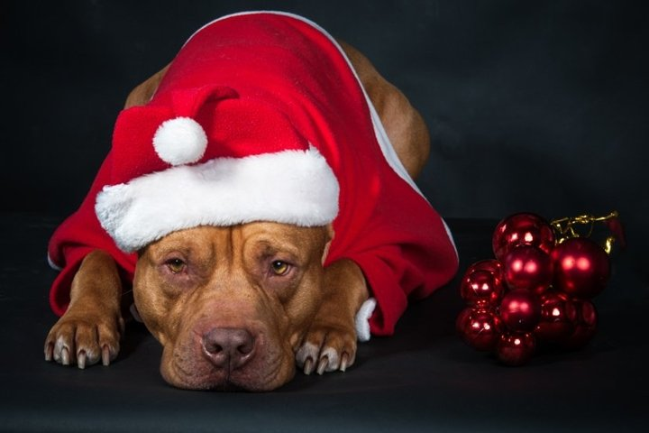 Dog, a pit bull in Santas costume, a dog year, a Christmas