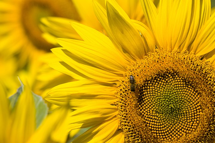 sunflower during insect pollination