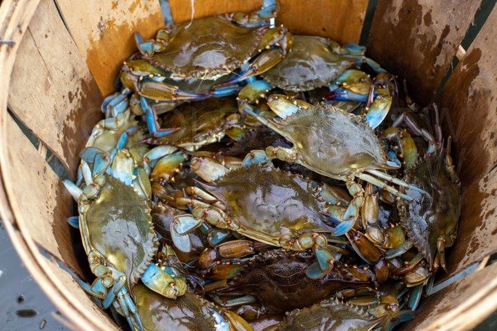 Maryland Blue Crabs Bushel Basket Stock Photo