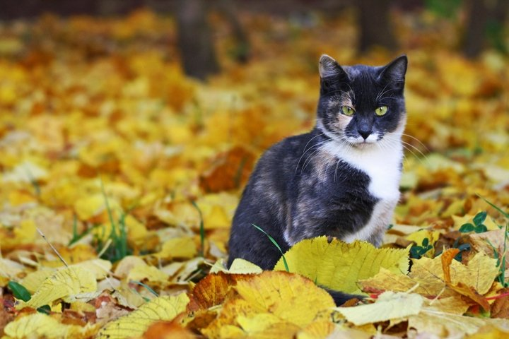 Cat sitting among the bright fallen autumn leaves.