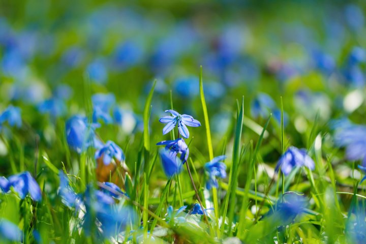 Blue snowdrops and a spring sunny forest