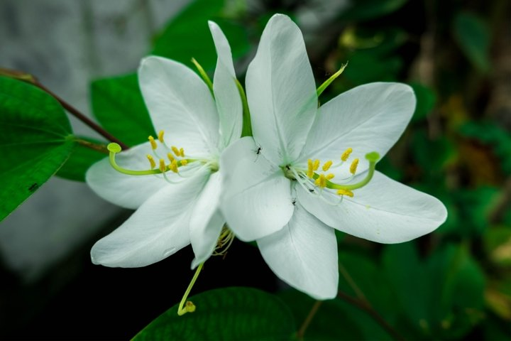 Beautiful Twins white Flower with Green Leaves