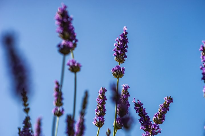 Flowering Lavandula plant in a summer garden