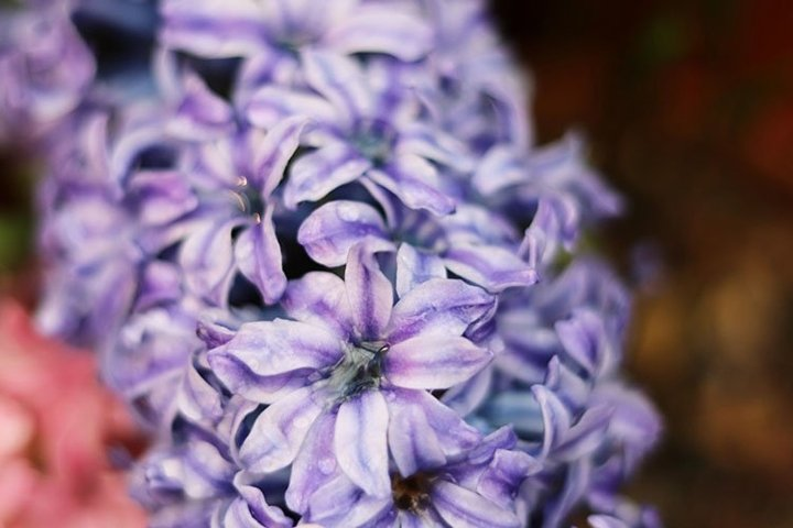Hyacinth flower in the store