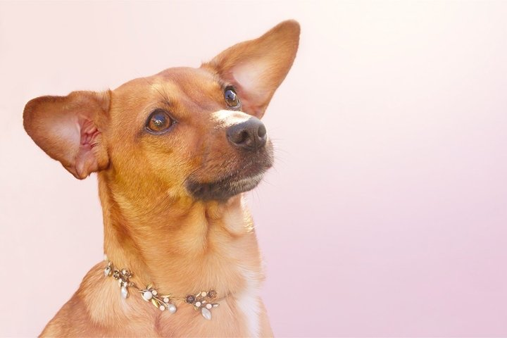 charming red smooth haired cross breed dog with a collar
