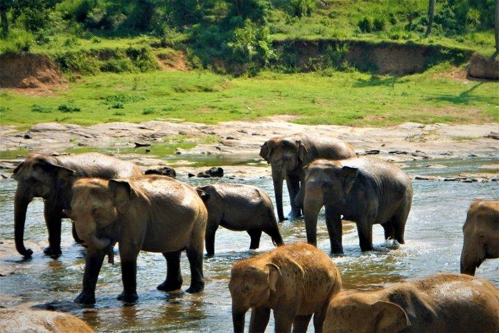 Sri Lankan elephants in Pinnawala