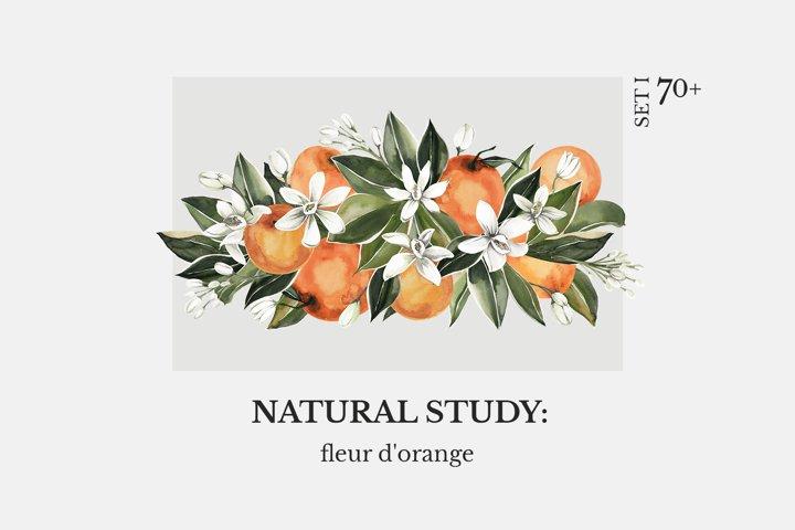 NATURAL STUDY fleur dorange watercolor orange blossom set