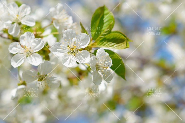 Branch of cherry flowers in springtime