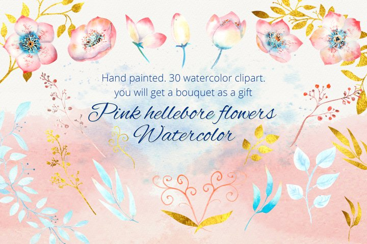 Pink hellebore flowers. Watercolor clipart