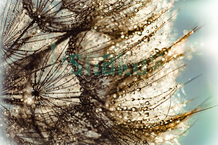 Dandelion in the drops of dew. Macro.