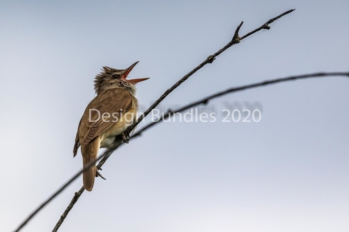 Singing bird - a large warbler sits on a thin branch of reed