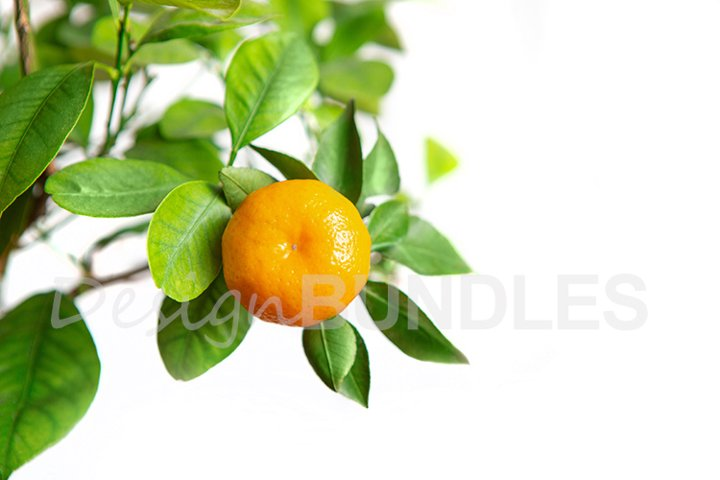 Citrus fruits growing on a tree. white isolated background.