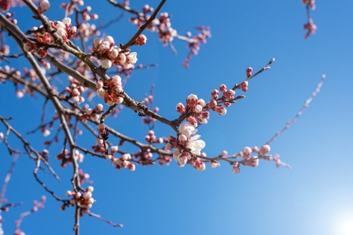 Flowering apricot branch against clear blue sky on sunny day