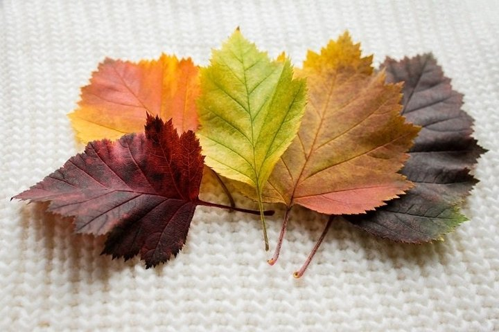 Five multi-colored bright hawthorn leaves