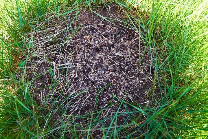 Anthill in the forest with many ants
