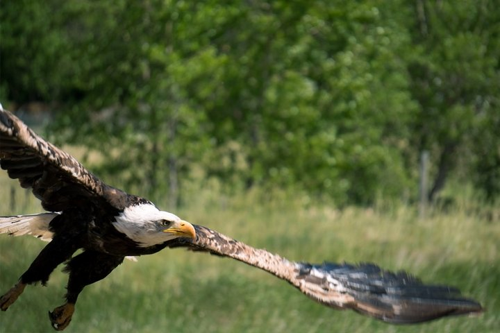 Eagle in Flight Photo - Wildlife Photography