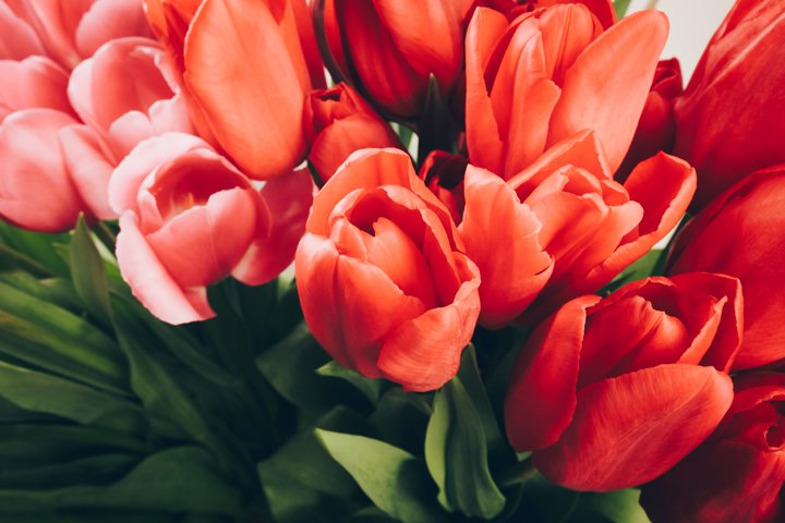 Bunch of red tulips. Flowers, springtime.