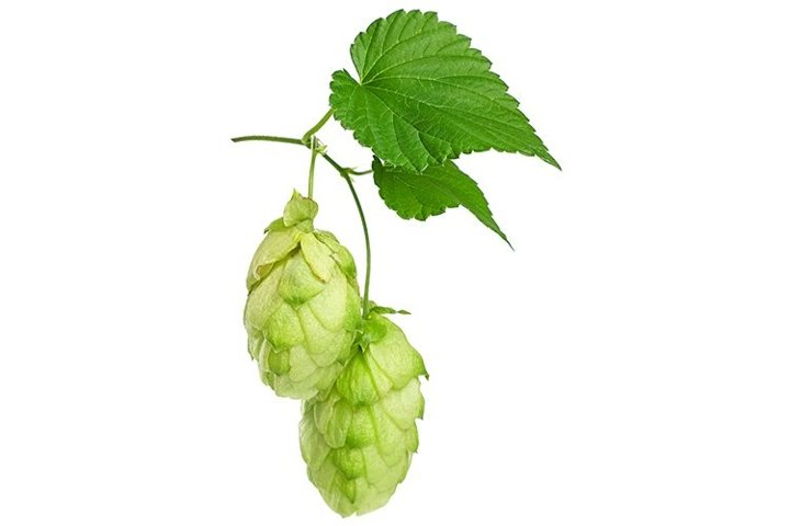 Fresh Green Hops Isolated on White Background