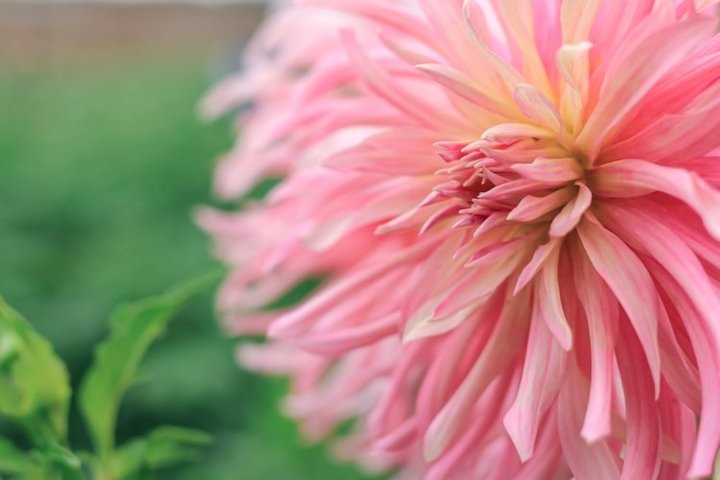Dahlia flower. Floral beautiful background.