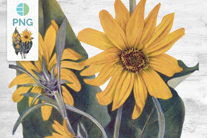 Yellow Flowers Vintage Clipart Arrowleaf Balsamroot