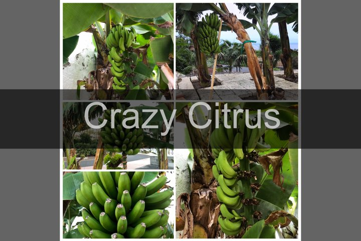 Green canary bananas growing on plantain tree, 5 photos