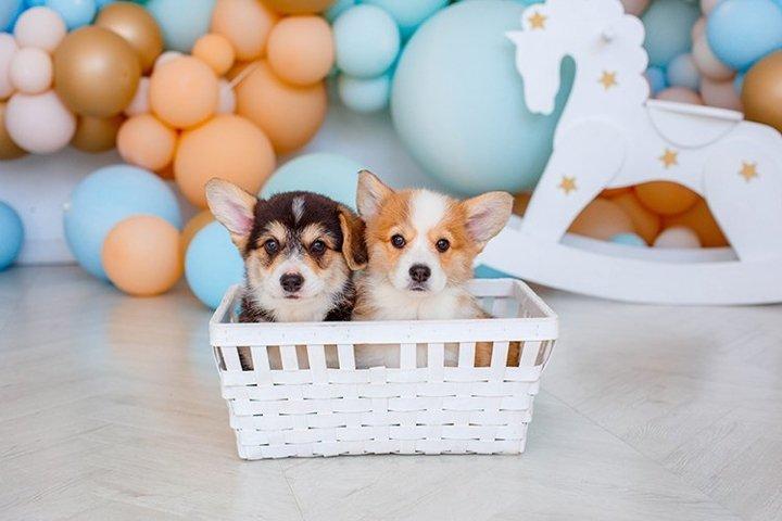 Corgi puppies sitting in a basket