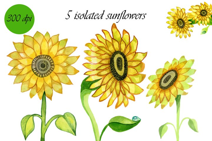 sunflowers 6 isolated hand-drawn watercolor illustrations