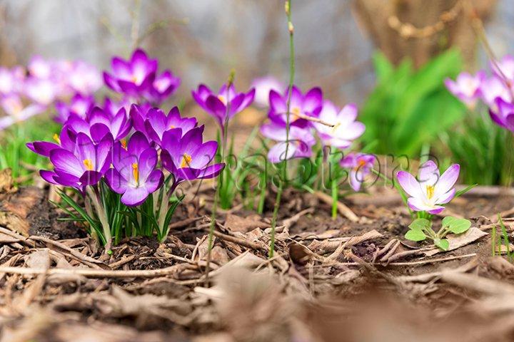 Close-up blooming purple crocus flowers on meadow under sun
