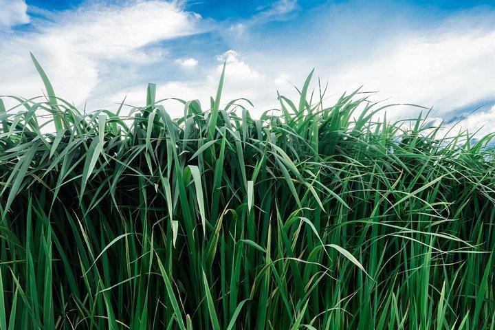 summer landscape with fresh green tall grass
