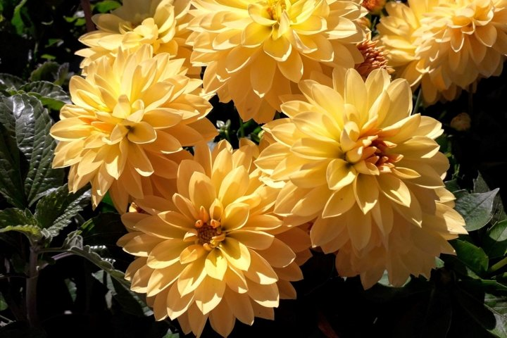 Flowers pictures Yellow dahlias
