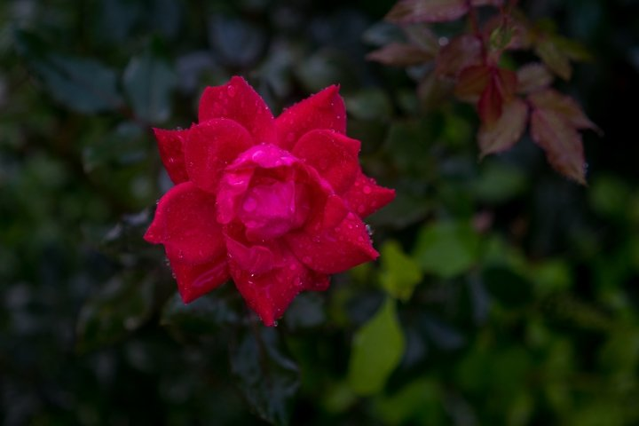 The Red Rose.