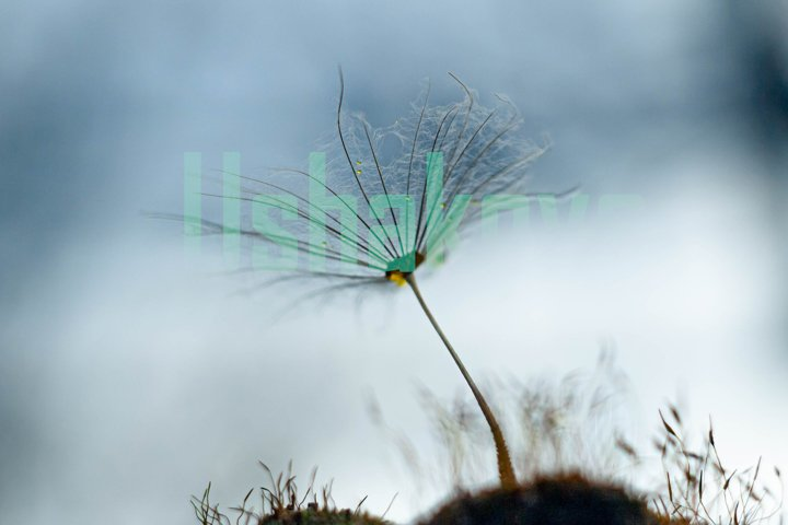 A parachute from a dandelion on moss. A look in the sky