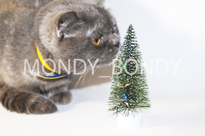 Gray Scottish cat with yellow eyes jerks with a decorative