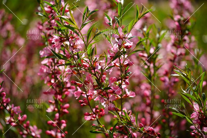 Almond steppe or prunus tenella flowers