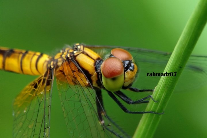 Extreme Close-Up Of Dragonfly