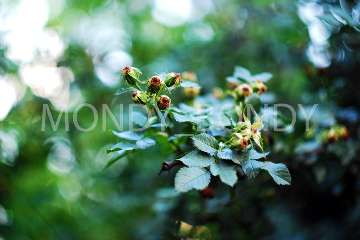 Fruits of green berries on a tree