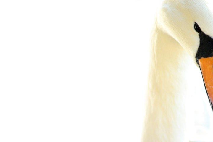 Close Up Swans Face